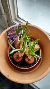 Eine Krokuspflanze zum nachmalen? Warum nicht?