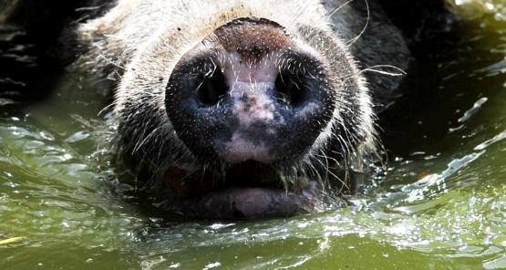 Schwein gehabt: VW Bora und Prosciutto