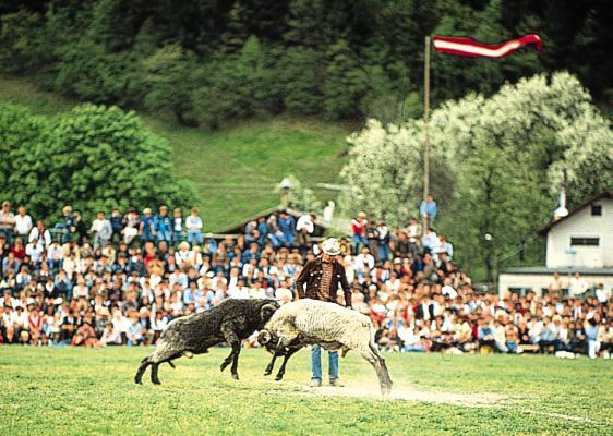 Auch die Widder werden beim Gauder Fest aufeinander losgelassen. Ganz wie es eine alte Tradition verlangt.