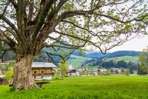 Der alte Ahornbaum beim Bögrainhof in Filzmoos ist ein Kraftplatz mitten im Dorf.