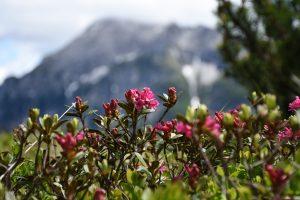Eine Bergtour ist ein Erlebnis für sie und ihn. Die Alpenröschen blühen heuer besonders schön.