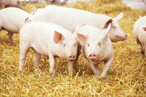 Unter Kennern gilt das Gustino Fleisch als das vielleicht beste Schweinefleisch Österreichs